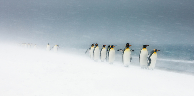 KingPenguins