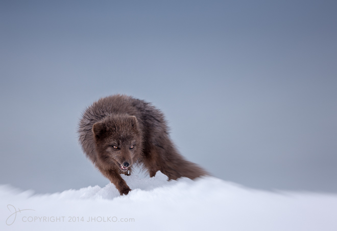 Arctic Fox Attack