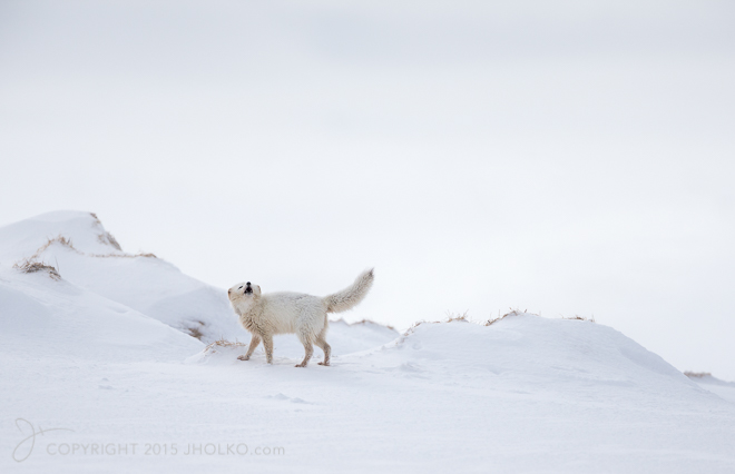 Arctic Fox Howl