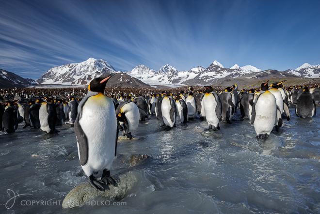 King Penguins Saint Andrews